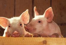 domuz büyüsü
